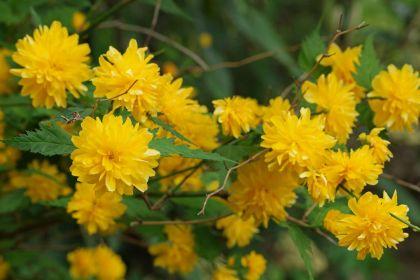 Keria (Kerria japonica Pleniflora)