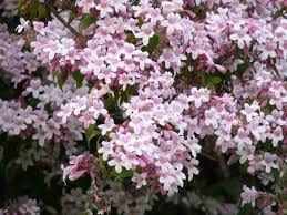 Kolkwitia (Kolkwitzia amabilis)