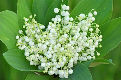 Lacramioare (Convallaria majalis)