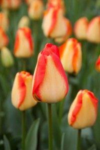 Lalele American dream (Tulips American dream)