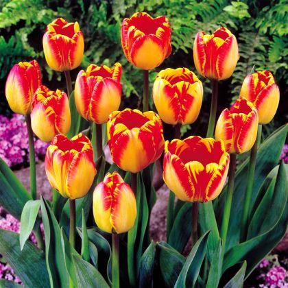 Lalele Banjaluka (Tulips Banjaluka)