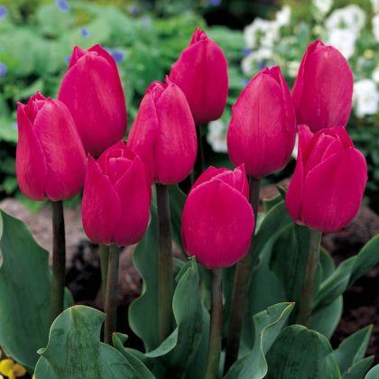 Lalele Barcelona (Tulips Barcelona)