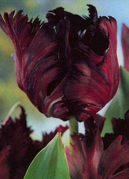 Lalele Black parrot (Tulips Black parrot)