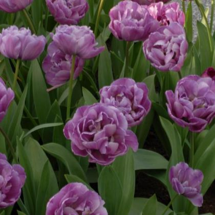 Lalele Blue diamond (Tulips Blue diamond)