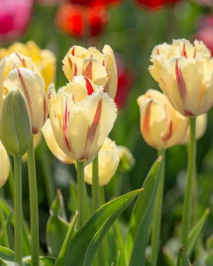 Lalele Carrousel (Tulips Carrousel)