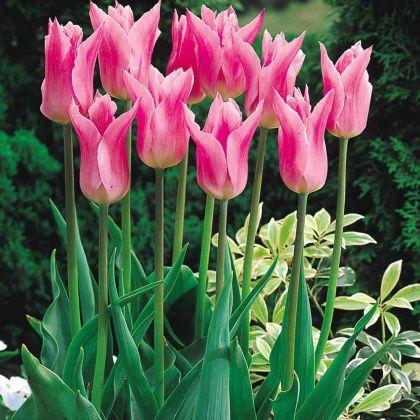 Lalele - China Pink