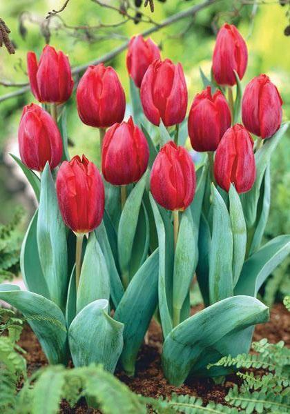 Lalele Couleur cardinal (Tulips Couleur cardinal)