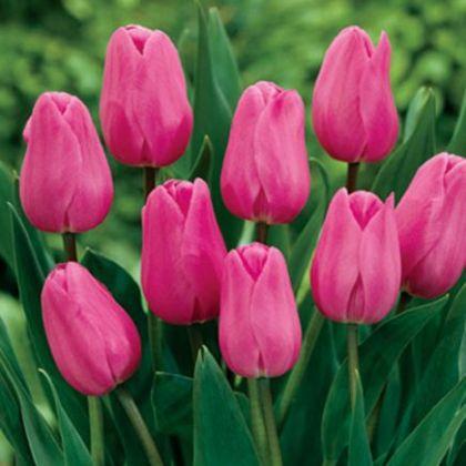Lalele Don quichotte (Tulips Don quichotte)