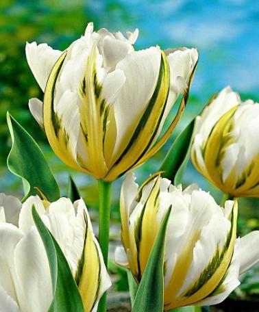 Lalele Exotic emperor (Tulips Exotic emperor)
