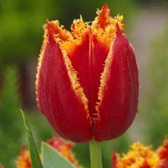 Lalele Fabio (Tulips Fabio)