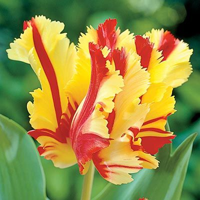 Lalele Flaming parrot 12+(Tulips Flaming parrot)