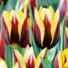 Lalele Gavota (Tulips Gavota)
