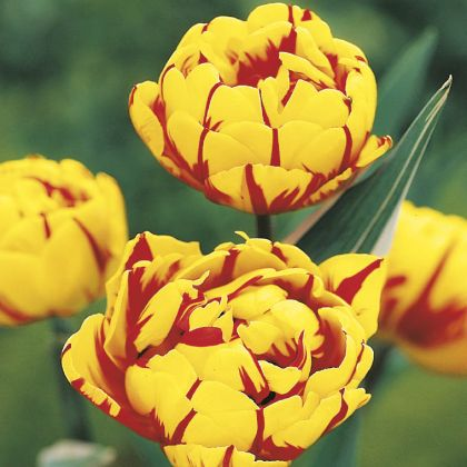 Lalele Golden nizza (Tulips Golden nizza)