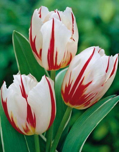 Lalele Happy generation (Tulips Happy generation)