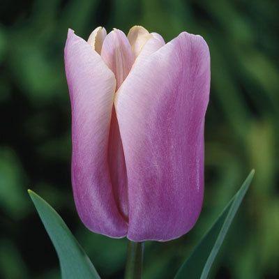 Lalele Holland Beauty (Tulips Holland Beauty)