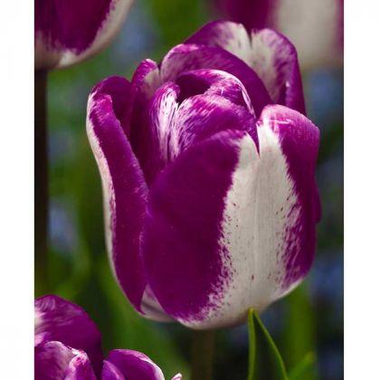 Lalele Hotpants (Tulips Hotpants)