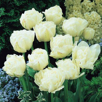 Lalele Mount tacoma (Tulips Mount tacoma)