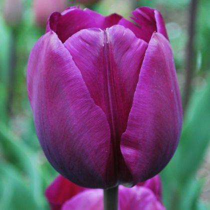 Lalele Negrita (Tulips Negrita)