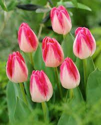 Lalele Page polka (Tulips Page Polka)