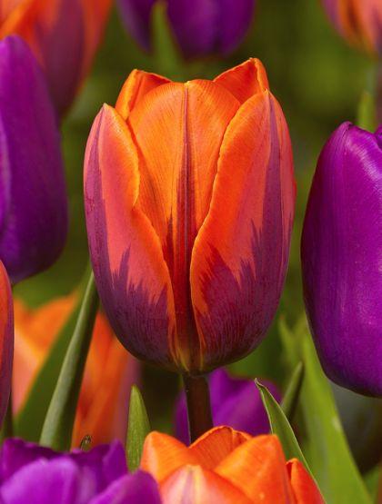 Lalele Prinses Irene (Tulips Prinses Irene)
