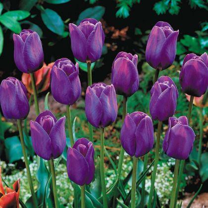Lalele Purple flag (Tulips Purple flag)