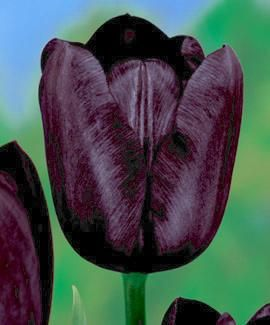 Lalele Queen of night (Tulips Queen of night)