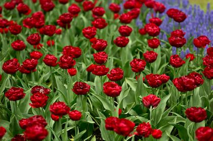 Lalele Red baby doll (Tulips Red baby doll)