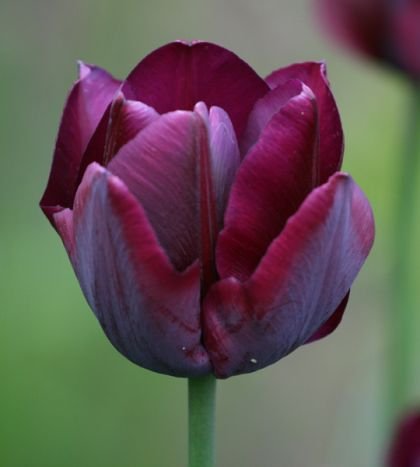 Lalele Ronaldo(Tulips Ronaldo)