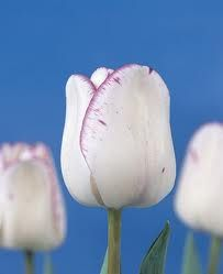 Lalele Shirley(Tulips Shirley)