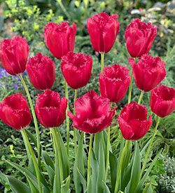 Lalele Burgundy lace (Tulips Burgundy lace)