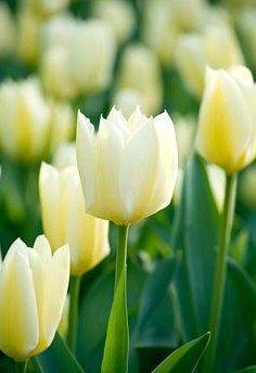 Lalele Lemonade (Tulips Lemonade)