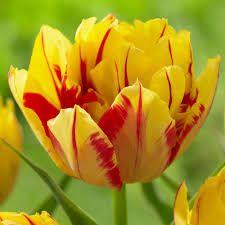 Lalele Monsella(Tulips Monsella)