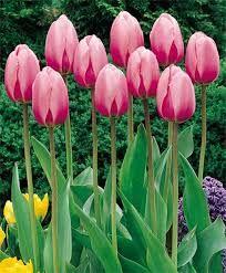 Lalele Pink giant (Tulips Pink giant)