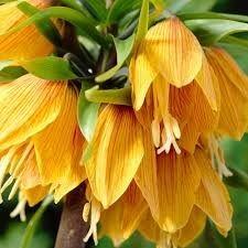 Lalele regale Aurora imperialis  (Fritillaria Aurora imperialis)