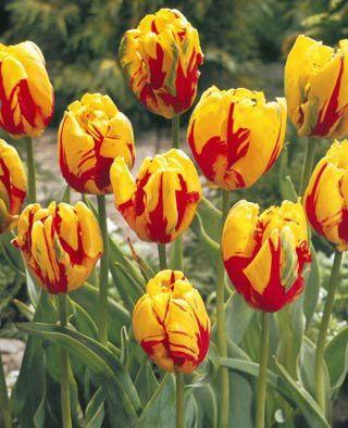 Lalele Texas flame (Tulips Texas flame)