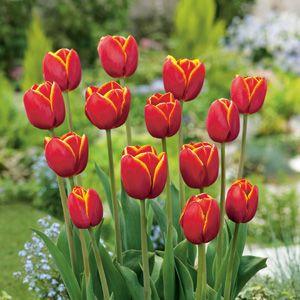 Lalele Verandi (Tulips Verandi