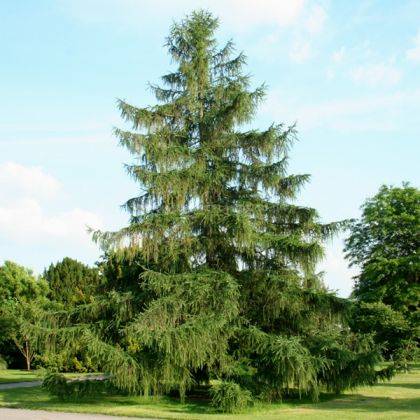 Larice, Zada (Larix decidua) 50-80 cm