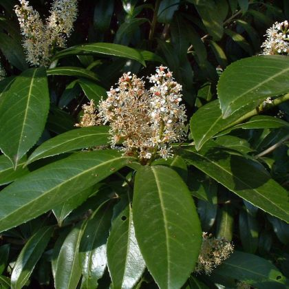 Laurocires caucasica (Prunus lauracerasus Caucasica)