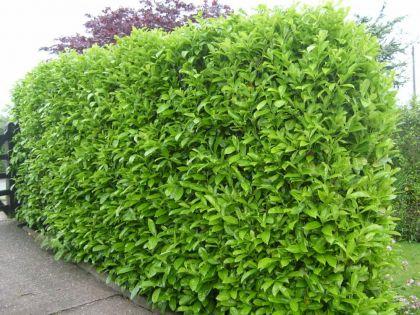 Laurocires rotundifolia  (Prunus laur. Rotundifolia)