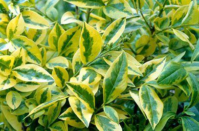 Lemn cainesc galben (Ligustrum ovalifolium Aureum)