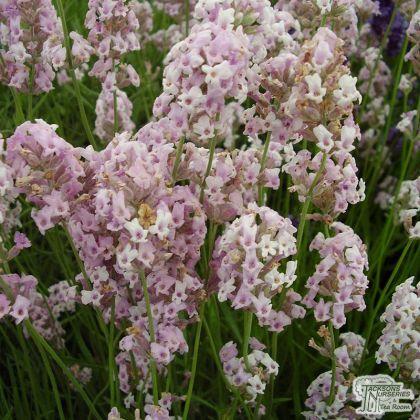 Levantica roz (Lavandula ang. Rosea)
