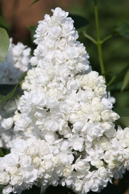 Liliac alb (Syringa vulgaris Miss Ellen Willmott)