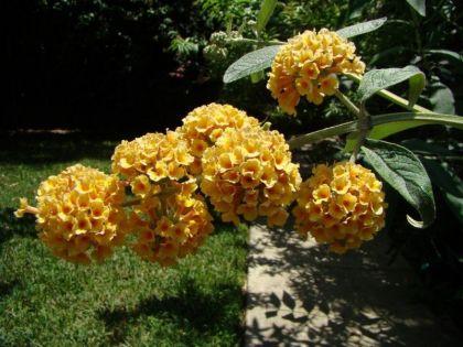 Liliac de vara galben (Buddleja weyeriana Sungold)