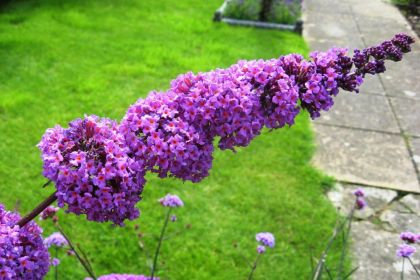 Liliac de vara mov (Buddleja dav. Border Beauty)