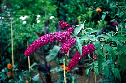 Liliac de vara Royal Red (Buddleja davidii Royal Red)