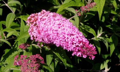 Liliac de vara roz (Buddleja dav. Pink Delight)