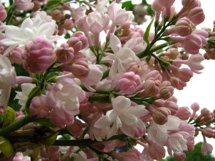 Liliac frumusetea Moscovei (Syringa v. Beauty of Moscow)