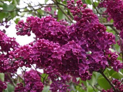 Liliac (Syringa v. and an Ludwig Spat)
