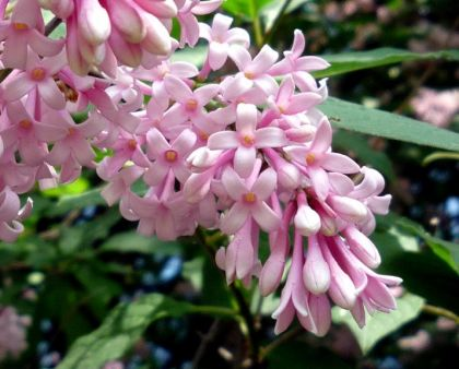 Liliac transilvania (Syringa josikea)