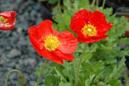 Mac rosu (Papaver Spring Fever Red)